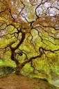 Maple Tree in Japanese Garden, Oregon