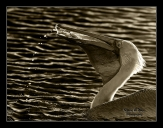 Pelican catching fishes in Mono
