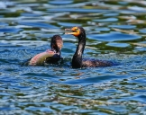 Cormorant Fishing @ Cerritos Park .