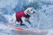 Dog Surfing .