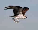 Osprey Fishing .