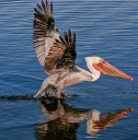 Pelican Take Off .