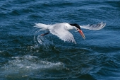 Tern Fishing .