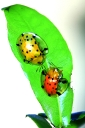 Turtle shell  lady bug's